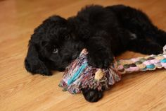 i will have this puppy! Puppy Play, Puppy Love, All About Animals, Puppy Pictures, Goldendoodles, Puppies, Future Children, Doggies, Cute
