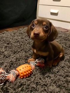 Aww so cute! 💖 Dachshund puppy 😍 - - Özge Baskin - Aww so cute! 💖 Dachshund puppy 😍 - Aww so cute! Funny Dog Toys, Cute Dog Toys, Pet Toys, Adorable Dogs, Baby Animals Pictures, Cute Animal Pictures, Toy Puppies, Cute Dogs And Puppies, Hot Dogs