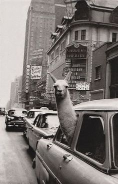 llama in a taxi cab saying swag images - Google Search