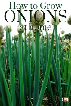 One of the easiest crops to grow in the home garden is onions! Learn how to grow onions at home whether starting from seed or sets. Growing Onions, Growing Vegetables, Gardening For Beginners, Gardening Tips, Herb Garden Design, Organic Gardening, Vegetable Gardening, Grow Your Own Food, Seed Starting