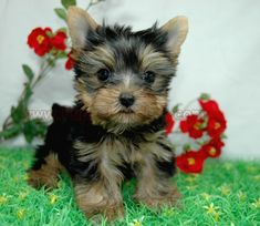 PuppyLandLA.com, Yorkies, Maltese, Breeders, teacup yorkie, teacup ...