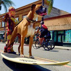 """#Hanzo #SamuraiSurfDog & #Ironman #SkateYourSurf #SurfYourSkate at #Pasadena #CICLAVIA #CICLAVIApasadena #SurfDog #SkateDog @resort4dogs @californiacollarco"" Photo taken by @evoletv on Instagram, pinned via the InstaPin iOS App! http://www.instapinapp.com (06/02/2015)"
