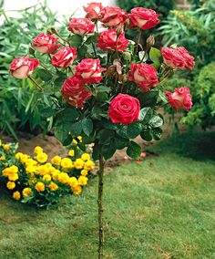 Captivating Why Rose Gardening Is So Addictive Ideas. Stupefying Why Rose Gardening Is So Addictive Ideas. Garden Trees, Trees To Plant, Beautiful Gardens, Beautiful Flowers, Standard Roses, Rose Garden Design, Rose Trees, Potager Garden, Classic Garden