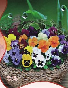 Pansy Seeds Viola Tricolor Flower Seeds 60 Seeds by Greenworld1
