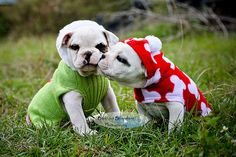 There must be mistletoe growing in the backyard :) #cute #Christmas #dogs #animals #pets #bulldogs #puppies #British #English #adorable #clothing #costume