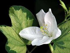 ดอกไม้ [ประพันธ์ ม.ล พวงร้อย อภัยวงศ์; เนื้อร้อง: อุระมิลา อุรัสยะนันท์; ขับร้อง: วิสุตา สาณะเสน]