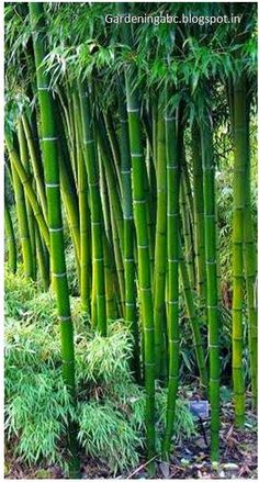 Growing #Bamboo: Some Interesting Information ~ Gardening ABC