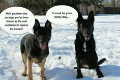 German Shepherd Meme Puppies Shepard Funny 2 Doblelolcom Picture