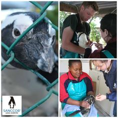 Taking blood and giving medicine to African Penguins  at SANCCOB