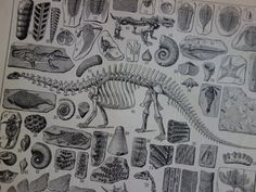Paleontology poster with pictures of fossils by DecorativePrints