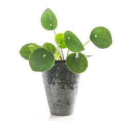 1000 images about pannenkoekenplant pilea peperomioides on pinterest chinese money plant. Black Bedroom Furniture Sets. Home Design Ideas