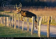 jumping deer - Google Search
