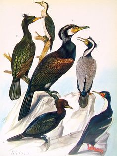bird print little pied cormorant shag cormorant spotted cormorant old world anhinga 1973 vintage encyclopedia book page 10 x 7