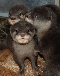 I don't know what it is about baby otters... but I want to cuddle them ALL.