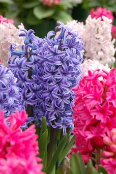 ~~A whole lot of hyacinth by Schooled_in_rock~~ If you have 10 bucks, spend half on bread to feed your body, and half on hyacinths to feed your soul. Hyacinth Flowers, Daffodils, Hyacinth Plant, My Flower, Flower Power, Amazing Flowers, Beautiful Flowers, Spring Bulbs, Led Grow Lights