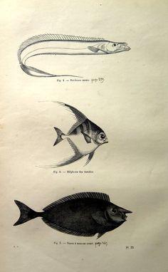 1860 Curious antique tropical fishes engraving vintage
