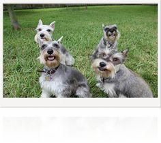 Schnauzer puppies jacksonville nc