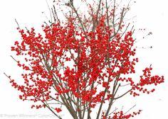 Berry Poppins® - Winterberry - Ilex verticillata   Proven Winners