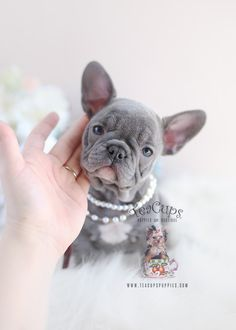 The major breeds of bulldogs are English bulldog, American bulldog, and French bulldog. The bulldog has a broad shoulder which matches with the head. Lilac French Bulldog, Teacup French Bulldogs, French Bulldog For Sale, French Bulldog Facts, Bulldog Puppies For Sale, French Bulldog Puppies, Dogs And Puppies, Corgi Puppies, English Bulldogs