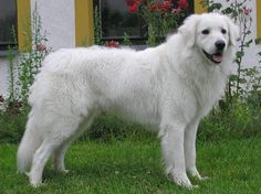 Slovensky Cuvac Cierny images - Slovak Cuvac Dog Breed The Slovak Cuvac is a Slovak breed of dog, bred for use as a livestock guard dog. This mountain dog—also known as Slovensky Cuvac, Slovak Chuvach, Tatransky Cuvac and Slovensky Kuvac—is closely related to the Hungarian Kuvasz. Wikipedia