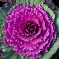 It's hard to beat flowering cabbage and kale for outright drama in the fall garden. Flowering Kale, Potted Mums, Cabbage Flowers, Fall Window Boxes, Winter Planter, Blossom Trees, Blossoms, Ornamental Cabbage, Heuchera
