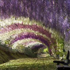 Fuji Garden Wisteria Flower Tunnel Walkway, Japan.