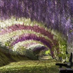 Fuji Garden Wisteria Flower Tunnel Walkway, Japan. breathtaking!