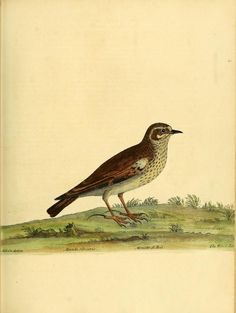 "Alondra Silvestre.     From ""A natural history of birds: Biodiversity Heritage Library, V.1"""