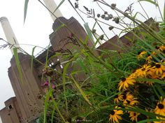 Wildflowers in the shadow of Battersea Power Station