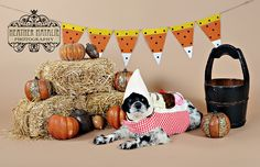 Halloween photography pet dog