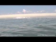 Esta foca se salva en el último segundo de ser devorada por un tiburón blanco - Verdi Viral