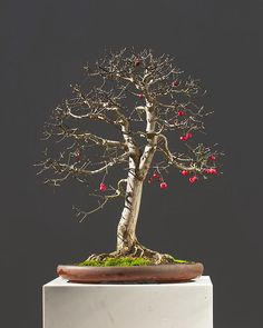 Euonymus bonsai | Euonymus, burning bush, Euonymus europea, collected in Germany, pot by ...
