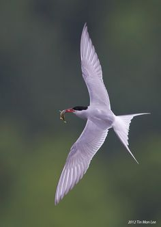 Arctic tern (Sterna paradisaea) -- This bird has a circumpolar breeding distribution covering the Arctic and sub-Arctic regions of Europe, Asia, and North America (as far south as Brittany and Massachusetts). The Arctic tern is famous for its migration; it flies from its Arctic breeding grounds to the Antarctic and back again each year, the shortest distance between these areas being 19,000 km (12,000 mi).