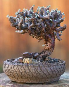 Pelargonium mirabilis by ktvamp Small Succulent Plants, Succulent Gardening, Cacti And Succulents, Planting Succulents, Unusual Plants, Rare Plants, Exotic Plants, Cool Plants, Bonsai Ficus