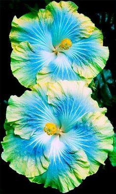 Hibiscus – Home Decor Gardening Flowers Hibiscus Bush, Growing Hibiscus, Hibiscus Tree, Hibiscus Garden, Hibiscus Rosa Sinensis, Hibiscus Plant, Hibiscus Flowers, Tropical Flowers, Blue Hibiscus