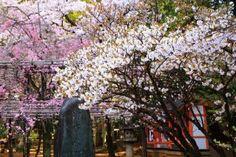 京都ごこうのみやじんじゃの満開の桜と御香水