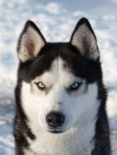 Syberische Husky. Zijn coole honden en de leukste honden.