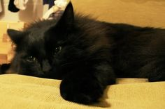 15 Adorable Black American Bobtail Cat Pictures And Images American Curl, Selkirk Rex, Devon Rex, Scottish Fold, Maine Coon, Bobtail Japonais, American Bobtail Cat, Beautiful Cats, Cats And Kittens