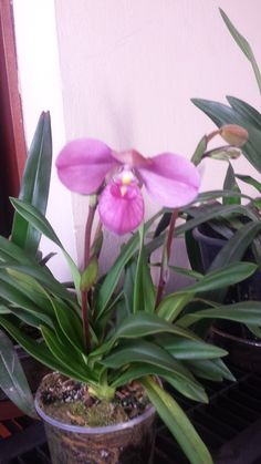 Eumelia Arias from Manolo Arias - Slippertalk Orchid Forum- The best slipper orchid forum for paph, phrag and other lady slipper orchid discussion!