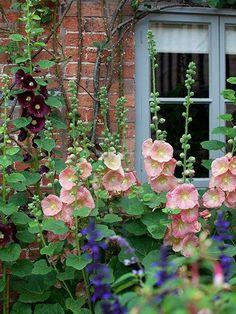 cottage garden hollyhocks evoke the old fashioned look