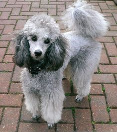 LOVELY Dog ------Gorgeous silver #poodle. Amazing colouring.