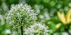 ALLIUM TIL ENHVER SMAG - Allium