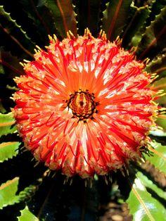 ✯ Australian Flora