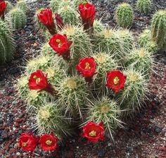Cold hardy cactus, succulent, and perennial plant specialist. Cacti And Succulents, Planting Succulents, Cactus Plants, Desert Plants, Cactus Y Suculentas, Cactus Flower, Cousins, Perennials, Design Inspiration