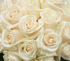 """ivory """"Vendella"""" roses, for Mother's nosegays"""