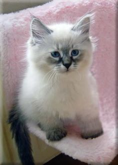 """My next cat -- Siberian Forest Cat -- adorable.  I wonder if they're cheaper if you just want for a pet and not """"show quality"""".  Hypo allergenic!"""