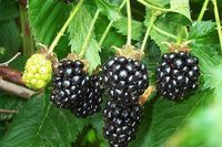 How to Grow Blackberries in a container | eHow