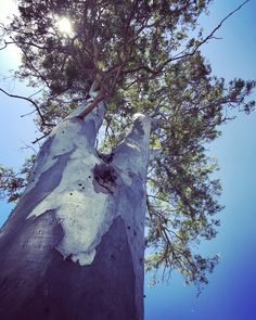 The most beautiful big trees in Necochea city, Argentina