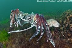 2 male Cuttlefish compete for a smaller female