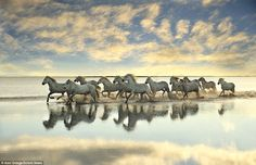 A herd of white Camargue horses galloping through a calm delta at sunset made for some stunning photos from Barcelona-based photographer Xavier Oretgas Ojuel. The images are slightly blurred due to the horses' quick movements...